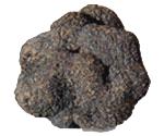 truffe-noire-ete-tuber-aestivum-vittadini-eurotartufi-bruxelles-belgique