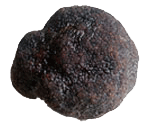 truffe-noire-tuber-melanosporum-vittadini-eurotartufi-bruxelles-belgique